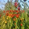 枣树苗 枣树苗出售|枣树苗出售价格