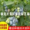 米德蓝莓苗_米德蓝莓苗种植时间