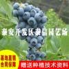 蓝港蓝莓苗 蓝港蓝莓苗种植技术