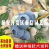 蓝鸟蓝莓苗 蓝鸟蓝莓苗品种有哪些