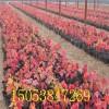 出售红枫红枫小苗  山东1-5公分营养杯红枫树苗价格
