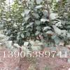 西府海棠哪里有、2公分、3公分、4公分西府海棠多少钱