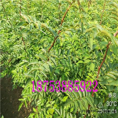 大红袍花椒苗价格|果树小苗|苗木|苗木报价|597苗木网
