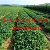 草莓苗多少钱 草莓苗多少钱一棵