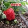 山东草莓苗签订正式购销合同