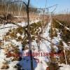占地樱桃树价格!!3公分4公分5公分樱桃树价格
