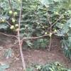 无花果树苗价格 3公分4公分5公分无花果树苗价格多少