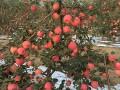 辽宁苹果树
