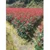30公分红叶石楠杯苗