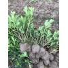 赣州大叶杜鹃扦插苗、容器苗江西省赣州市哪里有杜鹃色块苗,球卖