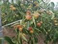 梨枣枣树苗规格