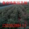 什么土壤适合栽种出优质易成活花椒苗