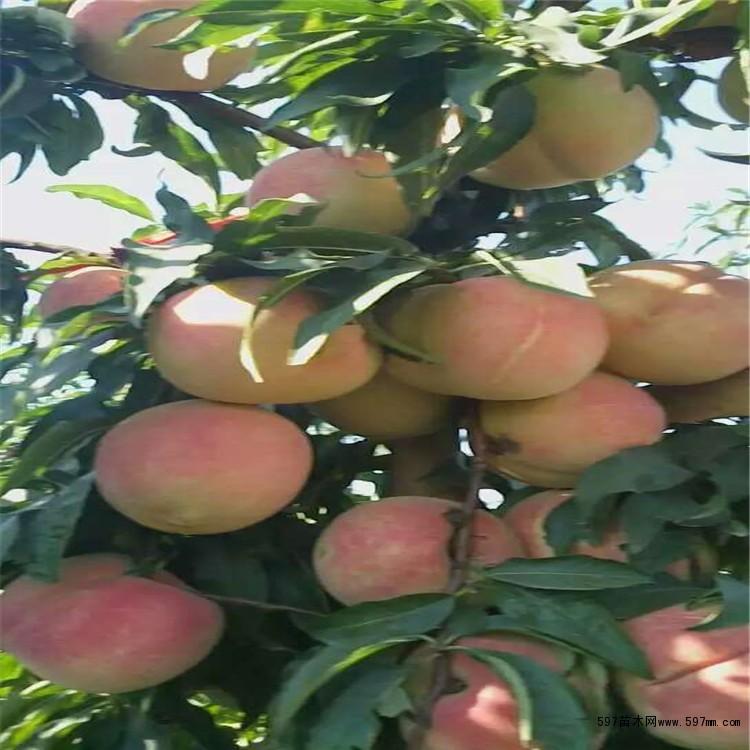 冬桃树苗价格 哪里有优质桃树苗