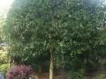 桂花树 (3图)
