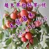 钙果苗价格 农大钙果苗5号 农大钙果苗8号 欧李
