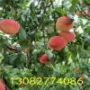 冬桃树苗多少钱一棵、哪里有优质桃树苗、桃苗哪里多