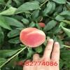 桃树苗那个品种好、出售好品种桃苗、山东桃树苗价格