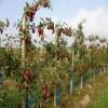 2公分苹果苗品种 富士苹果苗多少钱一棵
