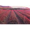 紅葉石楠小苗大量供應30-100