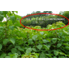 重陽木小苗,重陽木供應