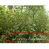 香樟小苗,香樟供应,香樟树报价