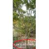 鸡爪槭ballbet贝博网站,鸡爪槭报价,鸡爪槭小苗
