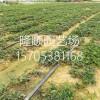 全明星草莓苗介绍、全明星草莓苗多少钱、全明星草莓苗