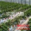 草莓苗批发价格、现在草莓苗批发价格是多少