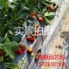 大量供应四季果树苗 牛奶草莓苗、奶油草莓 草莓苗 批发草莓苗