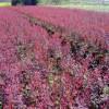 红、腊、榆叶梅、枫香、黑松、重阳木、紫薇、樱花、红、广玉兰