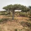 大量出售泰安造型景松 山东3米4米造型价格价格 造型黑松
