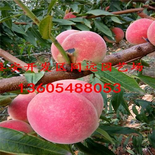 桃树苗出售 桃树苗出售价格