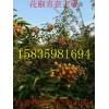 花椒苗几年结果,结果快的花椒苗哪里有,高产量花椒苗哪里有