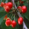 早大果樱桃苗产量 3公分樱桃苗成熟时间