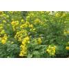 贵阳灌木种子木豆刺槐多花木兰贵阳草种紫花苜蓿狗牙根