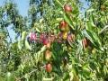 枣树苗品种冬枣