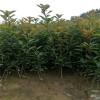 山东50公分红叶石楠苗价格 泰安60公分红叶石楠苗价格