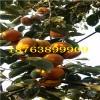 柿子苗介绍、柿子苗价格、柿子苗多少钱一棵、柿子树苗价格