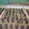 一年生蓝莓苗价格 半高从蓝莓苗当年结果