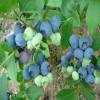 半高从蓝莓苗品种 北高从蓝莓苗成熟时间