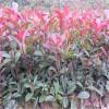 4分支红叶石楠山东50公分60公分以上红叶石楠苗价格