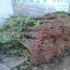 出售优质红椿树苗1-3公分香椿苗 品种全 规格全。