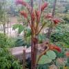香椿苗基地出售适合南北方种植的优质红油香椿苗。