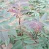 去哪找矮化香椿苗 香椿苗繁育基地 泰安木子农业科技有限公司