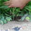 基地出售当年可食用香椿苗 经济效益好 品种纯 抗病能力强。