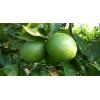 千思农林供应甜橙苗 甜橙新品种 纽荷尔脐橙苗
