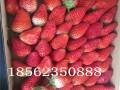 甜宝草莓苗哪里有