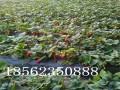 甜查理草莓苗价格