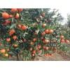 供应适合福建世纪红柑橘苗、福建世纪红柑橘口感、福建世纪红种苗