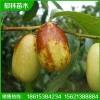 1公分枣树苗管理 3公分枣树苗种植前景